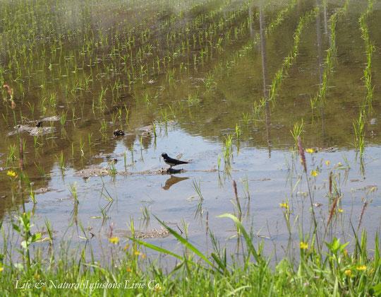 ♡ 田園とツバメ