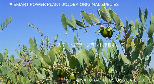 ♥ SMART POWER PLANT JOJOBA ORIGINAL SPECIES スマートパワープラント原種ホホバ(5月撮影)私達のホホバは、ホホバの自生地アリゾナ州ハクアハラヴァレー原産の純度100%ナチュラル原種のホホバです。