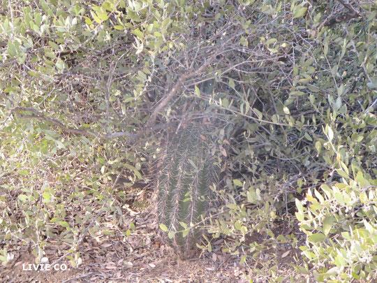 自生のサワロカクタスが私達の原種ホホバ農園に。私達の原種ホホバと同じく褐藻のオーガニック肥料とコロラドリバーの灌漑用水で育っています。自然に落ちた原種ホホバの葉と種子も原種ホホバ農園のオーガニック肥料として循環しています。