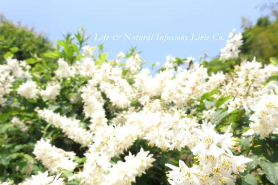 ♡  夏の訪れ 卯の花 Deutzia flower