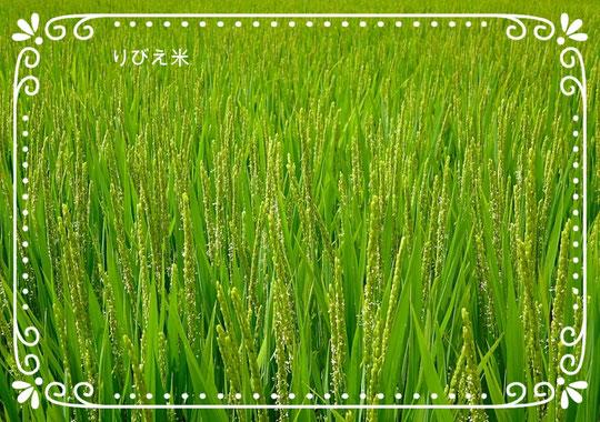 りびえ米のお花