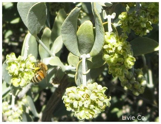 原種ホホバの聖地アリゾナ州南西部ハクアハラヴァレーにて褐藻のオーガニック栽培による原種ホホバ(純粋種Sayuri原種ホホバ 雄・King)とミツバチ