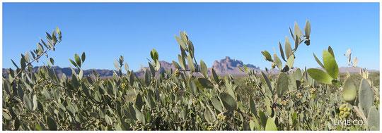 原種ホホバの聖地アリゾナ州ハクアハラヴァレーのイーグルテールマウンテンと原種ホホバ