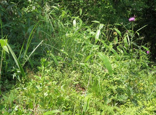 ♡ 日本ミツバチとノアザミ 自生ササユリ (笹百合)と笹、山草花の側で