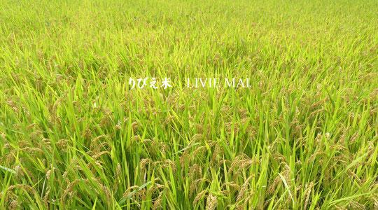 皆様のおかげで、きぬむすめ新米を収穫できました。丹精込めた上等な美味しいお米です♪