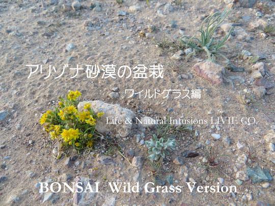 BONSAI アリゾナ砂漠のワイルドグラス