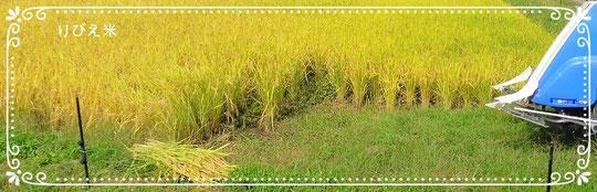 稲が黄金色に実りました頃に、りびえ米を収穫致します