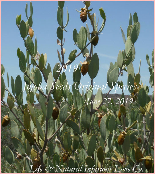 ☆ 2019 ★ JOJOBA SEEDS ORIGINAL SPECIES ★ 純粋種Sayuri原種ホホバ