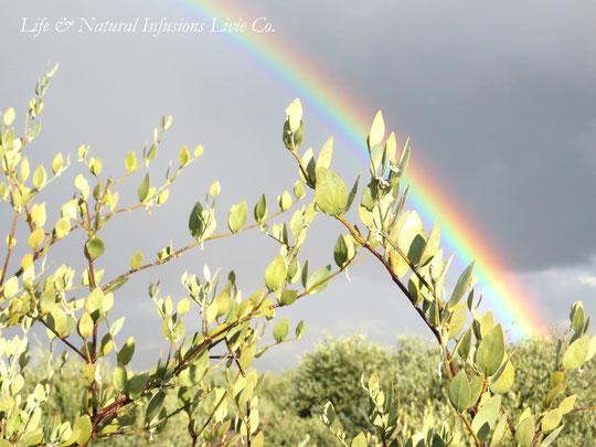 原種ホホバ(Queen)と虹