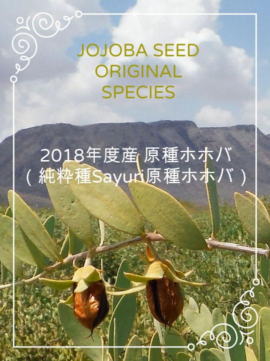 🔔 2018年度産アリゾナ州ハクアハラヴァレー産 原種ホホバ種子が実りました。