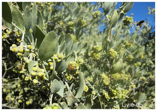 ♡ ホホバの原産地アリゾナ州南西部ハクアハラヴァレーにて褐藻のオーガニック栽培による原種ホホバ(純粋種Sayuri原種ホホバ 雄・King)とミツバチ