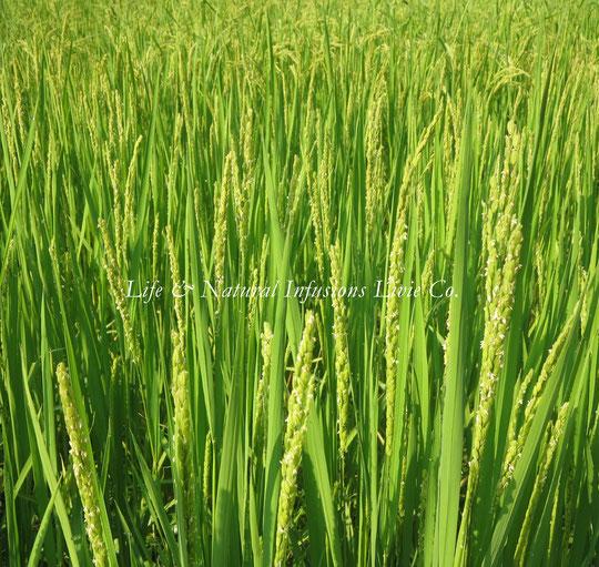 ♡ りびえ米 稲のお花