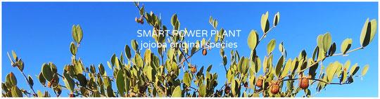 ○ りびえ米は、スマートパワープラントJOJOBA ORIGINAL SPECIES 原種ホホバの有機肥料で栽培しています。