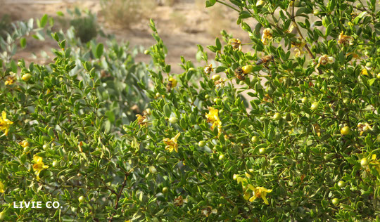 野花 Larrea tridentataと飛び交うみつばち。原種ホホバ農園にて。