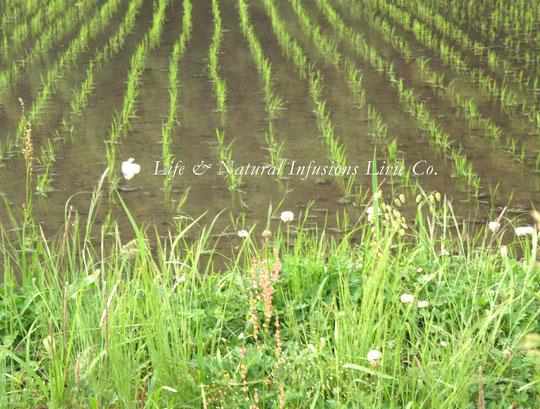 ♡ 田園と野草花 白詰草 White clover ❀花言葉: 幸福