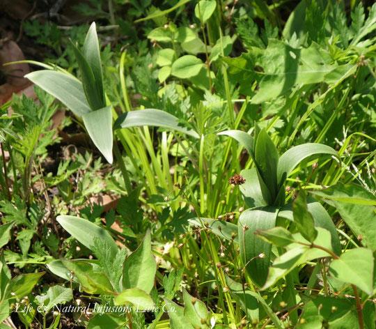 ♡ ササユリ(笹百合)学名:Lilium japonicum 花言葉: 清浄、上品