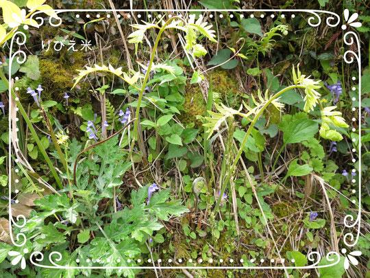 棚田の薬草と野草花