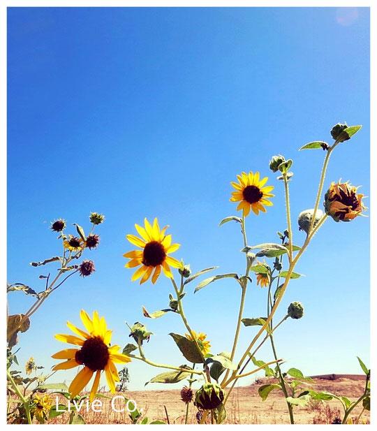 ♡ 原種ひまわり 於: アリゾナ州ハクアハラヴァレー