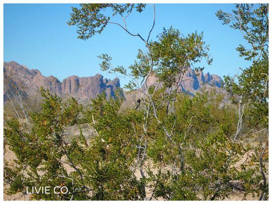 Hummingbird 原種ホホバの聖地 (JOJOBA ORIGINAL SPECIES  Sacred Place)  アリゾナ州ハクアハラヴァレー原産原種ホホバ(純粋種Sayuri原種ホホバ)農地にて
