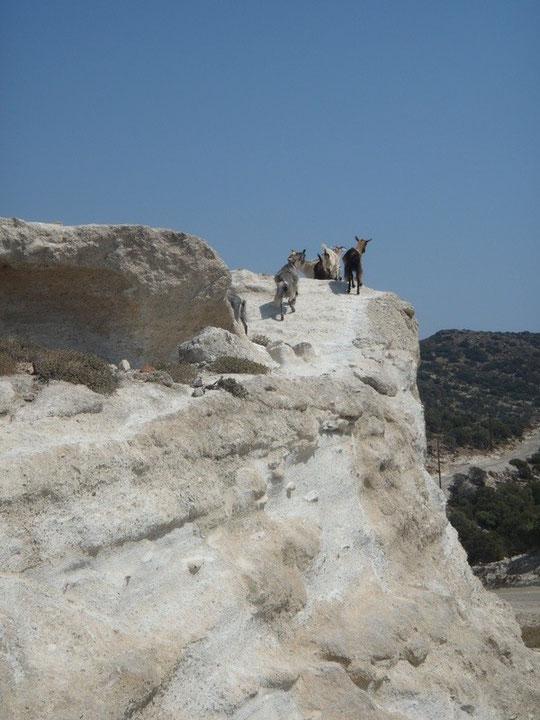Goats, Milos, Cyclades, Greece.