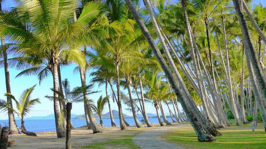 パームコーブのヤシの木たち。
