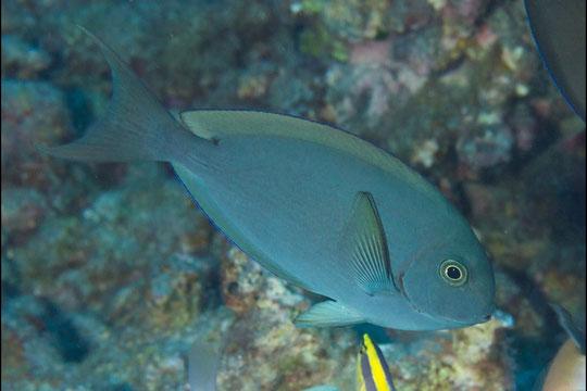Acanthurus thompsoni