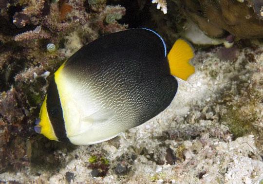 Chaetodonplus mesoleucus