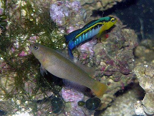 Pseudochromis cyanotaenia
