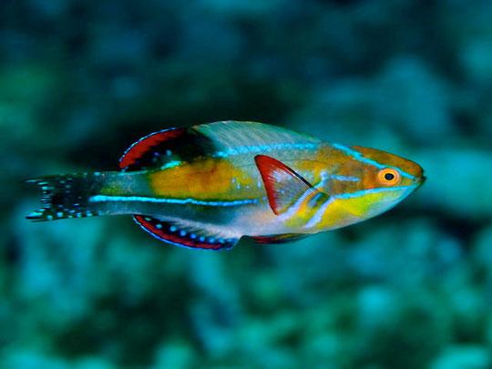 Cirrihitichthys exquisitus