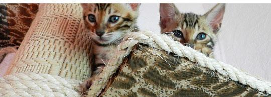 уход и воспитание бенгальских котят