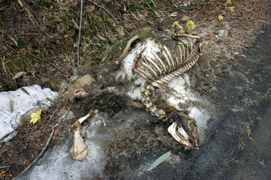 エゾ鹿の死骸があった、熊に襲われたのだろうか