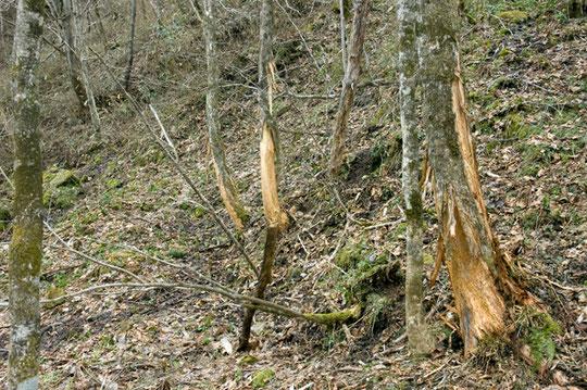 縄張りを主張しているヒグマの爪痕があった。この辺には熊の糞があったりしているので頻繁に来ているようだ。熊避けの鈴など持ち充分注意して見学されたし。