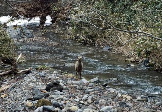 博物館を後にし、細い道路に迷いながら山に入ると渓流に鹿がいるではないか