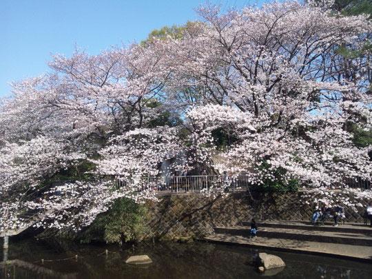 神奈川県立武道館がある岸根公園の篠原池の桜 2018.3.25