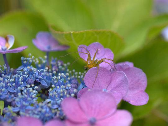 ササグモと額紫陽花