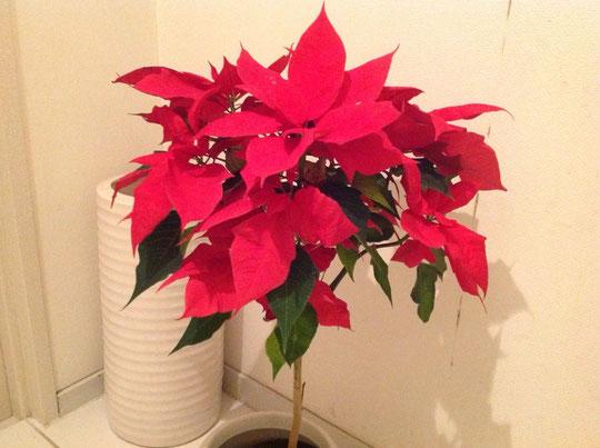 ポインセチア やはりこれでクリスマス気分盛り上がりますね♪(v^_^)v