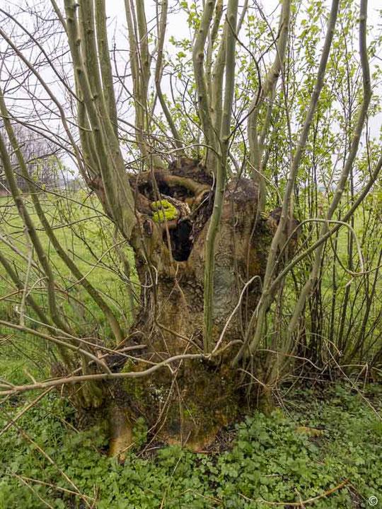 Die alte Esche schlägt nach dem Kappen im Frühjahr wieder aus. Dieser hohle Baum ist ein idealer Unterschlupf für Steinkauz und Feldermaus. Gesehen Wakendorfer Wiesen in der Alsterniederung