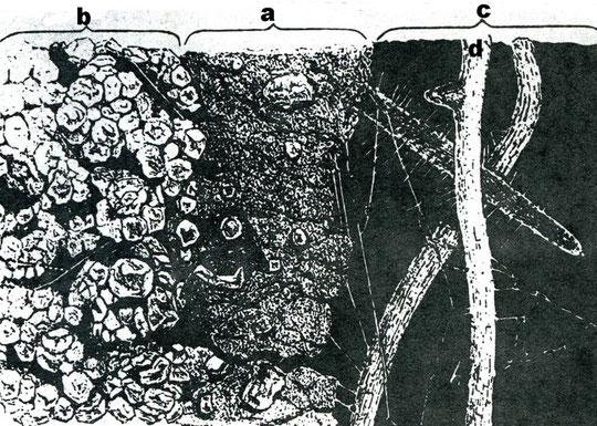 Ausschnitt aus einer Röhre des Tauwurmes (Orignalzeichnung von HENSEN), aus Graff, O.: Unsere Regenwürmer  a= Losungstapete der Röhrenwand, b = gweachsener Boden, c = Lumen der Röhre, d = eingedrungene Wurzeln