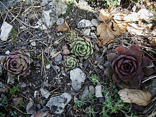 Sempervivum tectorum, Schwäbische Alb, in situ, Foto: Manuel Werner