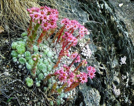 Sempervivum arachnoideum in Südtirol. Foto: Manuel Werner