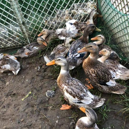 合鴨農法の画像2