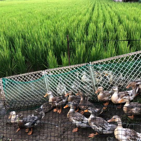 合鴨農法の画像1