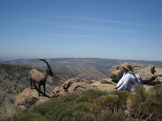 Cara a cara amb una Capra pyrenaica de la Sierra de Gredos (Ávila). Agost de 2010