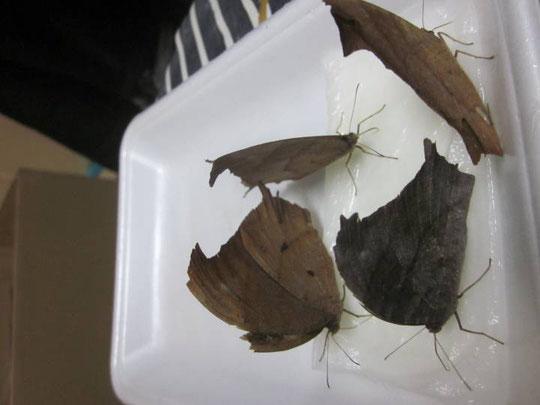 吸蜜中のクロコノマチョウ