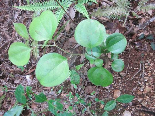 サルトリイバラの葉形3