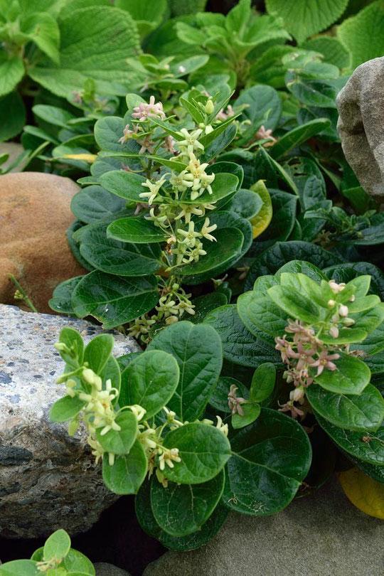 イヨカズラ(Cynanchum japonicum)とクロバナイヨカズラが混生していた