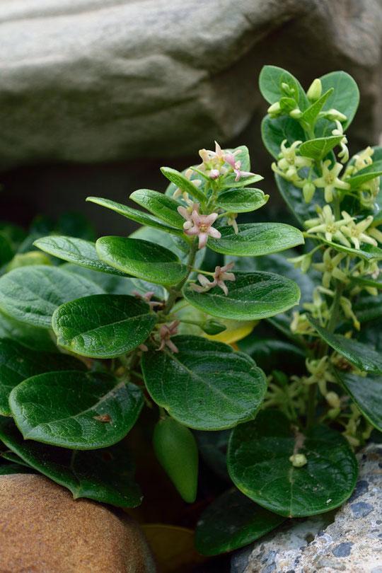 クロバナイヨカズラ(Cynanchum japonicum f. puncticulatum)は、花色が淡紫色を帯びる