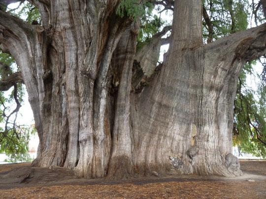 l'arbre de Tulé, de bas en haut (manque le milieu)