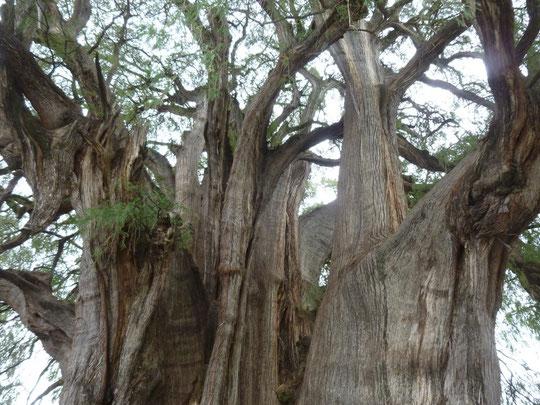 L'arbre de Tulé (haut)
