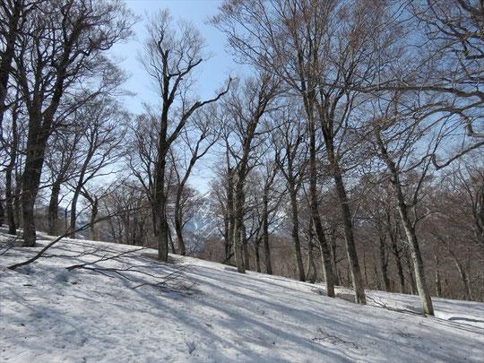 この時期だけはブナの巨樹の森を自由に歩けて爽快!ただし、どこでも行けてしまうので迷わないように注意が必要。
